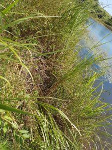 Flattened grass next to Kangonga